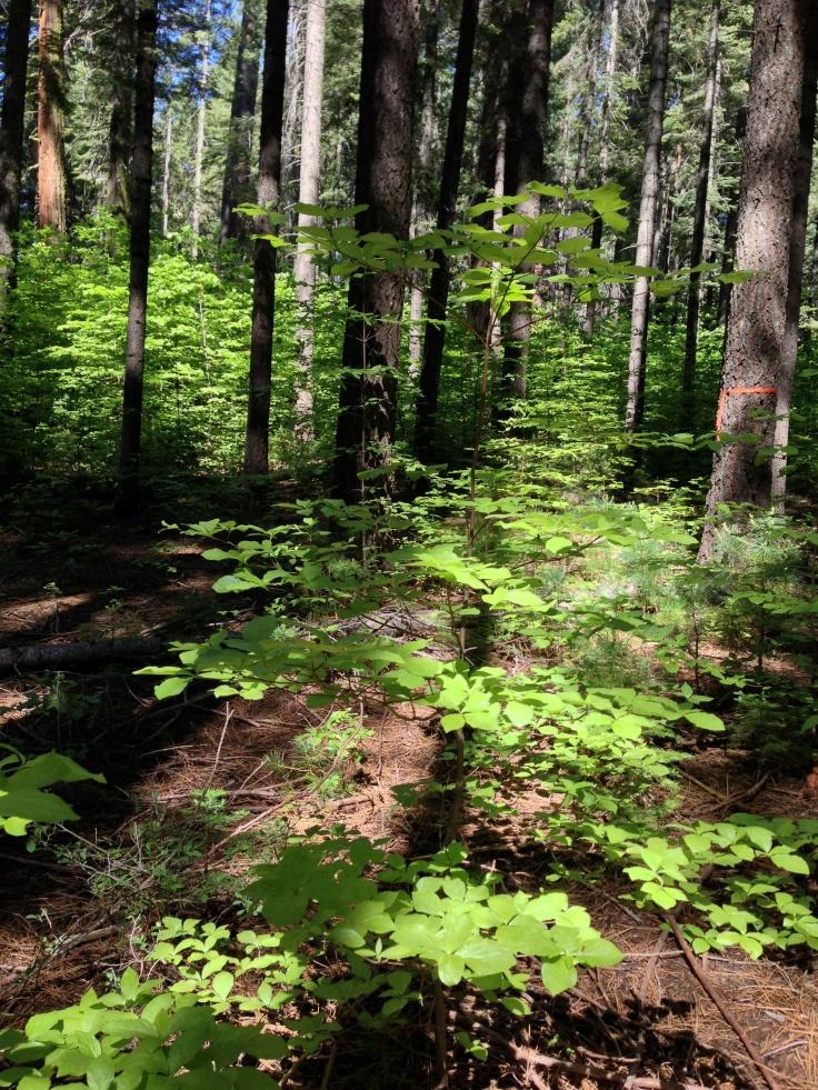 Beautiful redwood forest floor