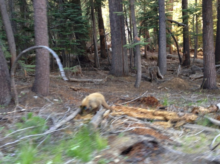 A black bear foraging for food by Glacier Point